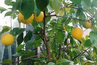 レモンそろそろ収穫?